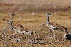 Two kori bustard, etosha nationalpark, namibia Royalty Free Stock Images