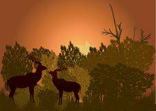 Two kudu in the bush late eveinging Royalty Free Stock Image