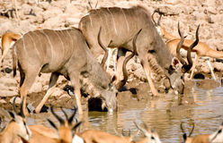 Two kudu drinking in Etosha. Park Royalty Free Stock Photos
