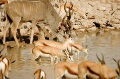 Two Kudu with other animals. Two Kudu in Etosha in Okaukuejo Stock Photos