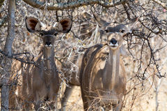 Two Kudus Stock Images