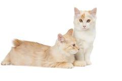 Two Kurilian Bobtail cats Stock Images