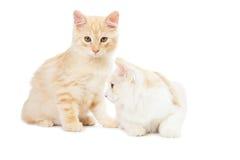 Two Kurilian Bobtail cats Royalty Free Stock Image