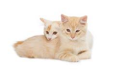 Two Kurilian Bobtail cats Royalty Free Stock Photo