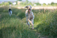 Two Kyrgyzian  Sight hound Taigan dogs running on the grass Stock Image