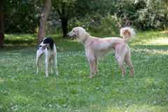 Two Kyrgyzian  Sight hound Taigan dogs sitting on the green gras Stock Image