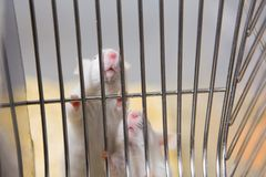 Two laboratory mice wanting to get out of cage Royalty Free Stock Photo
