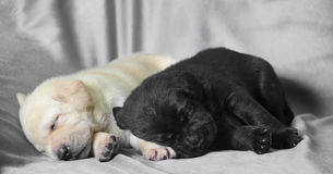 Two Labradodors Royalty Free Stock Photography