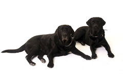 Two labrador Stock Image