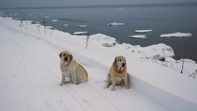 Two Labrador Dogs On The Coastline In Winter. Two tired Labrador dogs sitting on the snow and look around looking for hosts or food, on the seacoast in winter in stock video