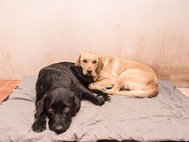 Two Labrador dogs Royalty Free Stock Photo