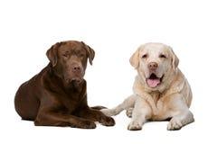 Two Labrador dogs Royalty Free Stock Photos