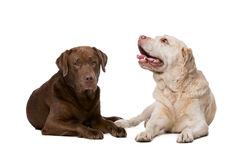 Two Labrador dogs Stock Photo