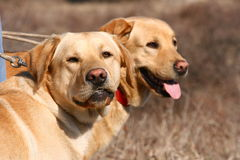 Two labrador dogs with red neck piece stock photography