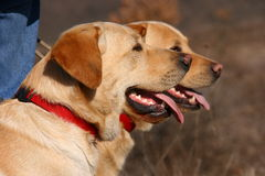 Two labrador dogs with red neckpiece. Two labrador dogs with red collars Stock Images