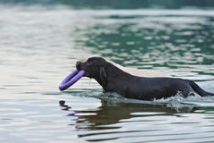 Two Labrador float with a ring Stock Photo