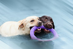 Two Labrador float with a ring Stock Photography