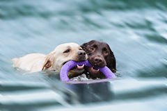 Two Labrador float with a ring Stock Image