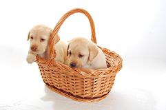 Two labrador puppies Stock Images