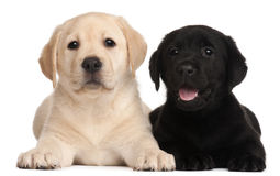 Two Labrador puppies, 7 weeks old royalty free stock photography