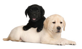 Two Labrador puppies, 7 weeks old Stock Photography