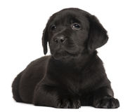 Two Labrador puppies, 7 weeks old. Labrador puppy, 7 weeks old, in front of white background Royalty Free Stock Photo