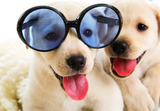 Two Labrador puppies Royalty Free Stock Image