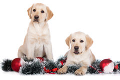 Two labrador puppies with christmas decorations. Yellow labrador retriever puppy on white Stock Image