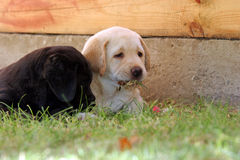 Two labrador puppies in the grass Royalty Free Stock Images