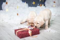 Two Labrador Puppies In A Christmas Studio Royalty Free Stock Photography