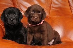 Two labrador puppies on the sofa Royalty Free Stock Photography