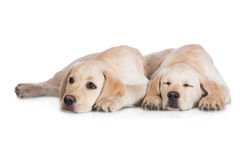 Two labrador puppies Stock Photography