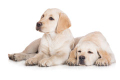 Two labrador puppies Stock Image