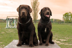 Two labrador retriever Stock Images