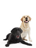 Two labrador retriever dogs. Two Retriever Labrador black and ivory shade dogs lying in studio isloated Stock Photos