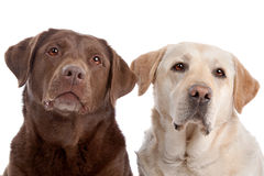 Two Labrador Retriever dogs Stock Image
