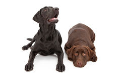 Two Labrador Retriever Dogs Laying Down Stock Images