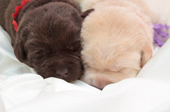 Two labrador retriever puppies. (one week old stock photo