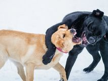 Two Labrador retriever puppies play in the snow. Show teeth dog. Stock Photo