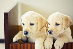 Two Labrador Retriever Puppy Royalty Free Stock Photography