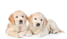Two labrador retriever puppy looking at the camera. isolated on white. Background Royalty Free Stock Photo