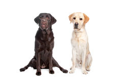 Two Labrador retrievers Royalty Free Stock Image