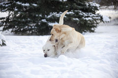 Two Labrador Retrievers Stock Photography