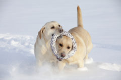 Two Labrador Retrievers Stock Images
