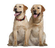 Two Labrador Retrievers sitting Royalty Free Stock Image