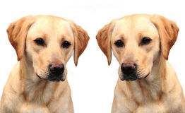 Two labrador sisters Stock Photos