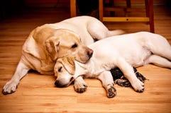 Two labradors stock photos
