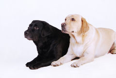 Two labradors, black and yellow Royalty Free Stock Image