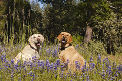 Two labradors in the flowers. Two female Labradors sitting in the wildlflowers obeying the stay command royalty free stock photo