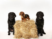 Two labradors and one dachshund Stock Images